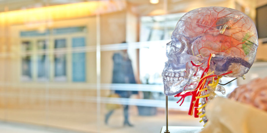 ein durchsichtiges Modell eines menschlichen Schädels in der Seitenansicht